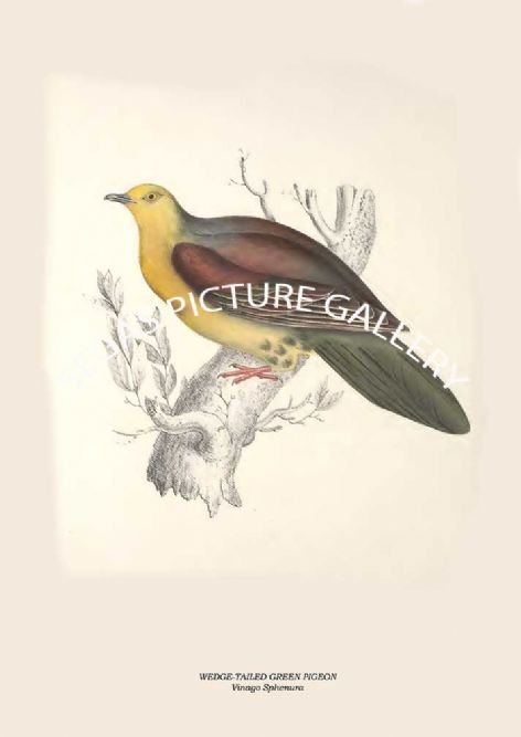 Fine art print of the WEDGE-TAILED GREEN PIGEON - Vinago Sphenura by John Gould (1831) reproduced by Segas Picture Gallery.